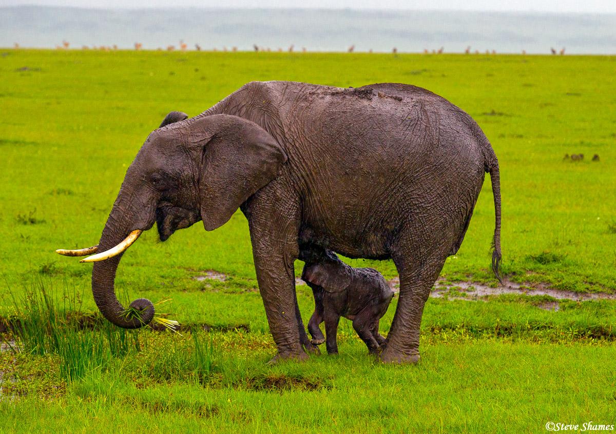masai mara, elephant calf, national reserve, kenya, photo