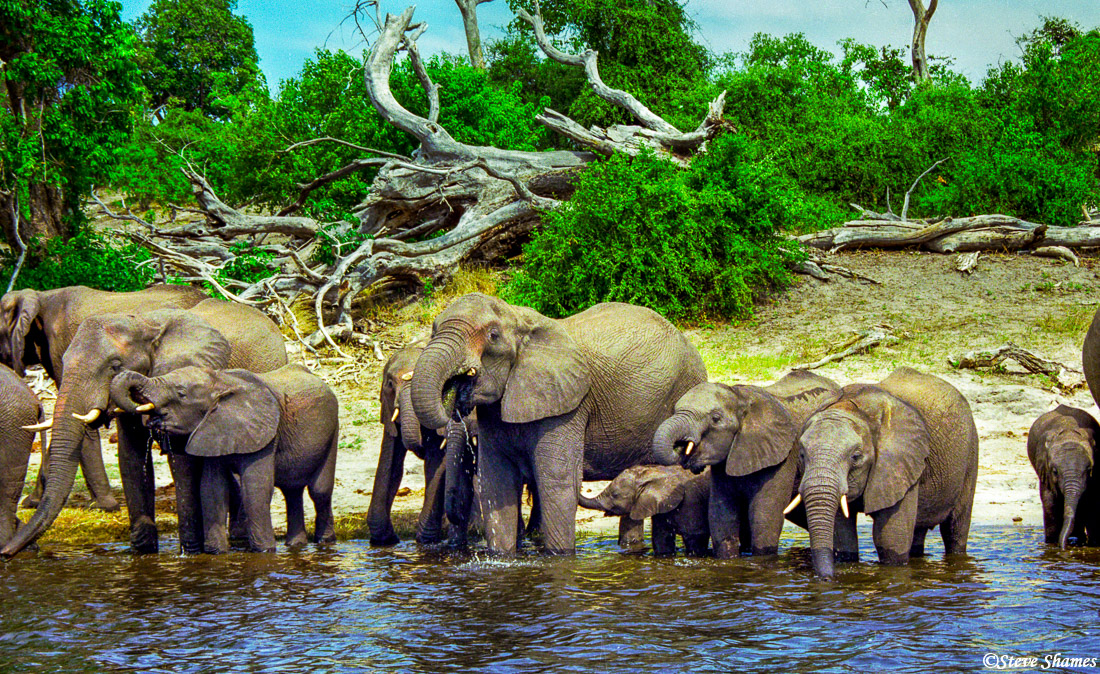 chobe national park, botswana, elephants drinking, photo