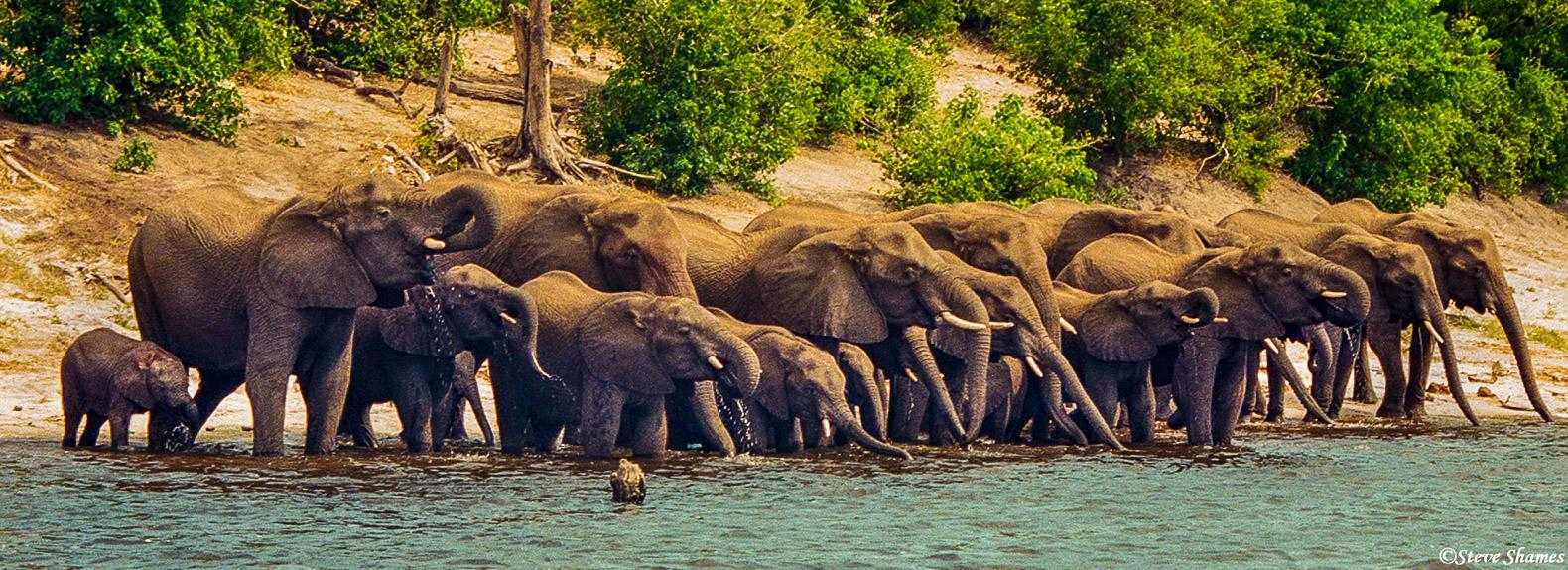 chobe national park, chobe river, thirsty elephants, photo