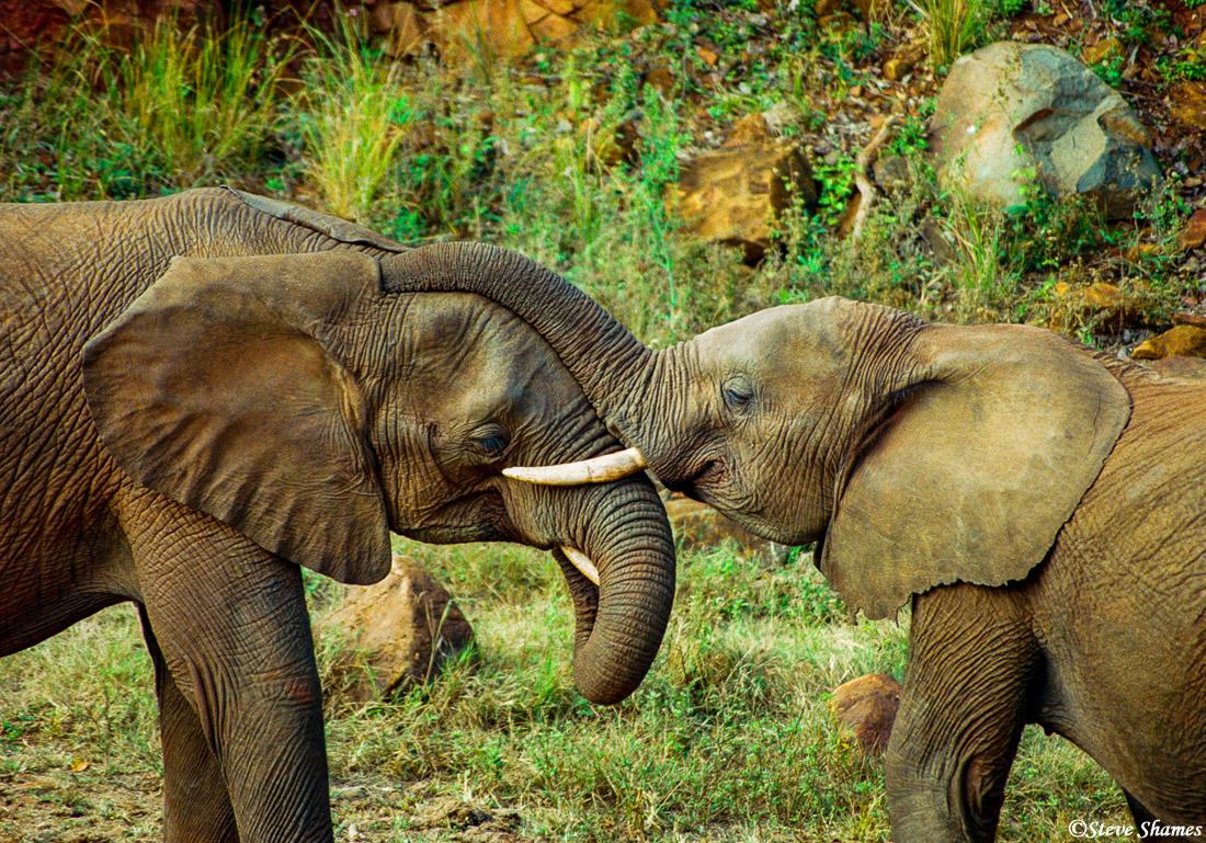 elephants nuzzling, mutare, zimbabwe, photo
