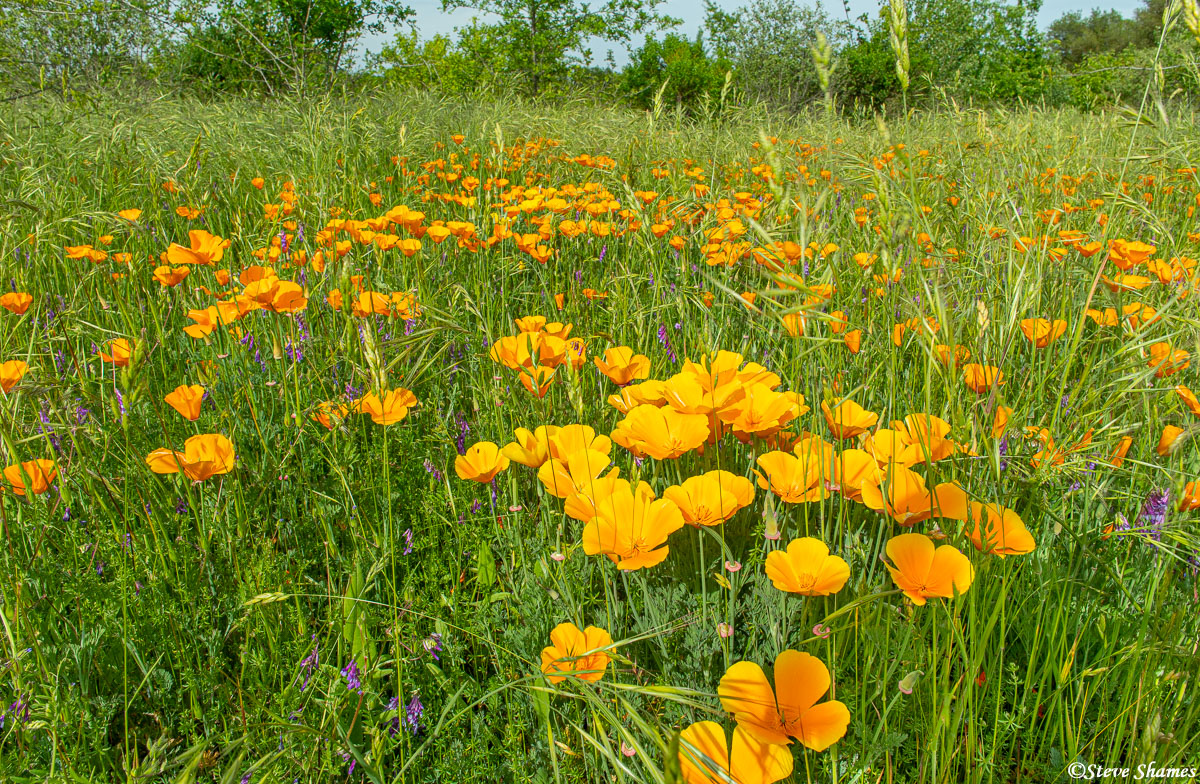 Spring poppies in bloom close to the American River.