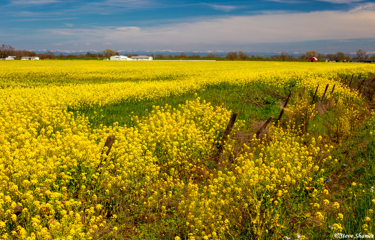 sacramento valley, wild mustard, photo