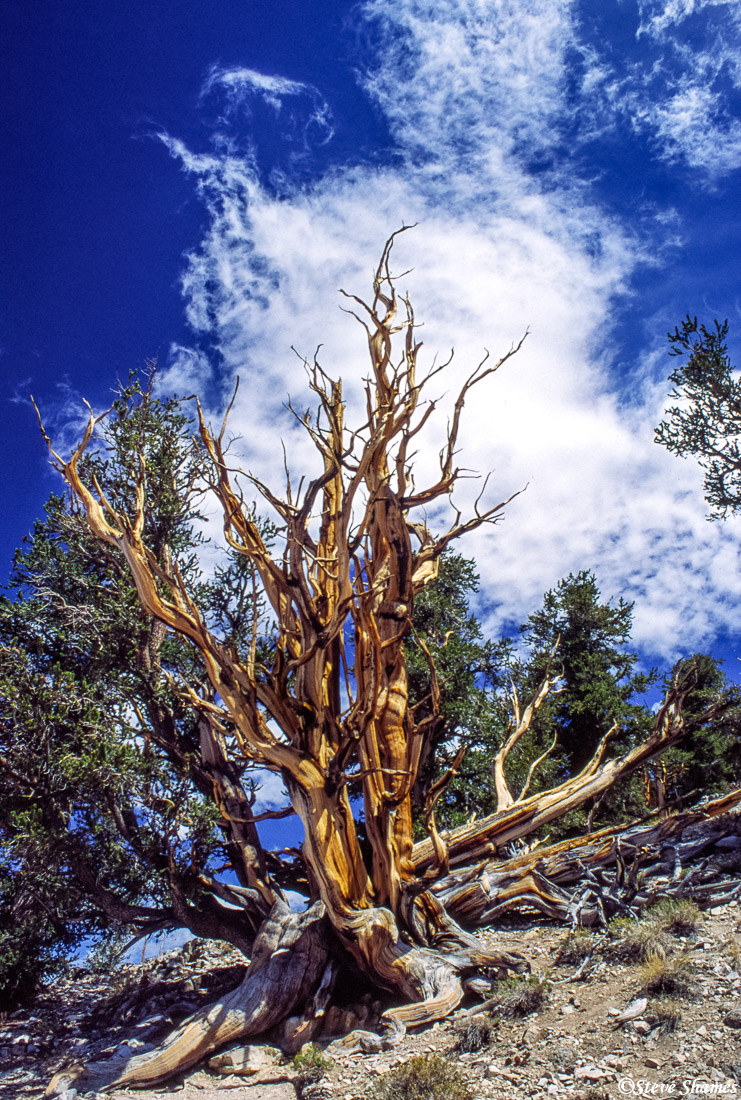 ancient, bristlecone pine forest, california, photo