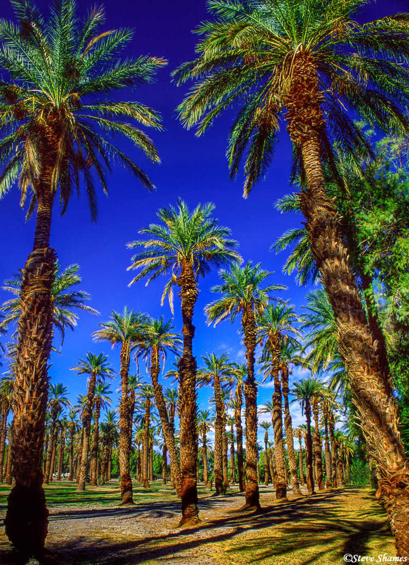 death valley national park, furnace creek, palm trees, photo