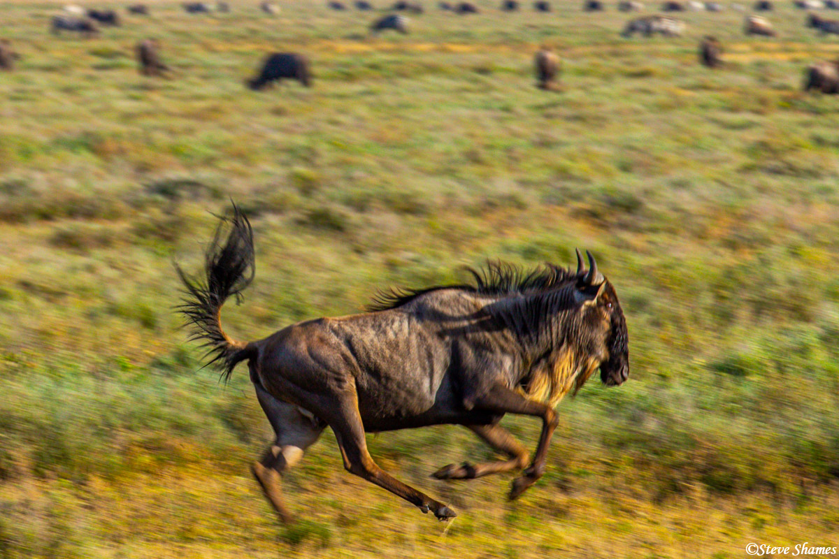 wildebeest galloping, serengeti, tanzania, goof off, photo