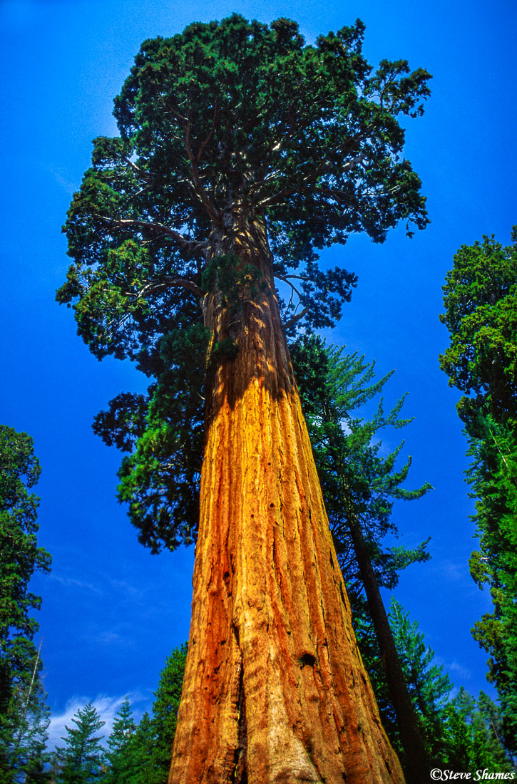 sequoia national park, giant tree, living organism, photo