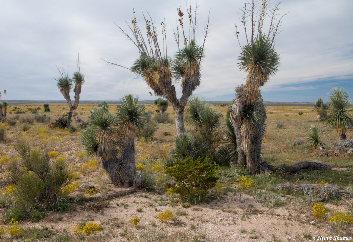 west texas, highway 62, giant yucca plants, photo