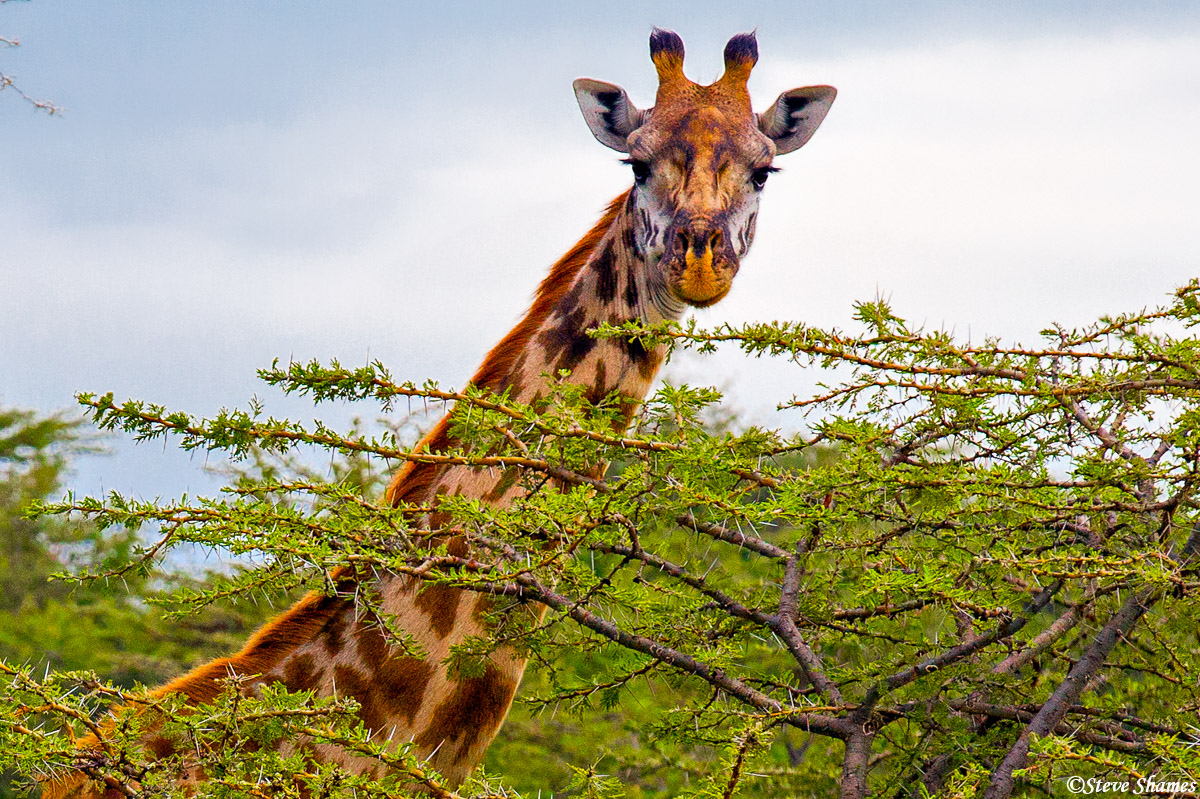 masai mara giraffe, national reserve, kenya, photo