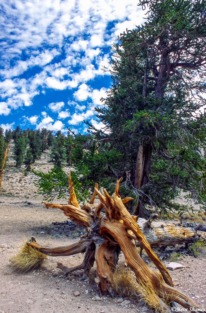 ancient, bristlecone pine forest, gnarled stump, photo