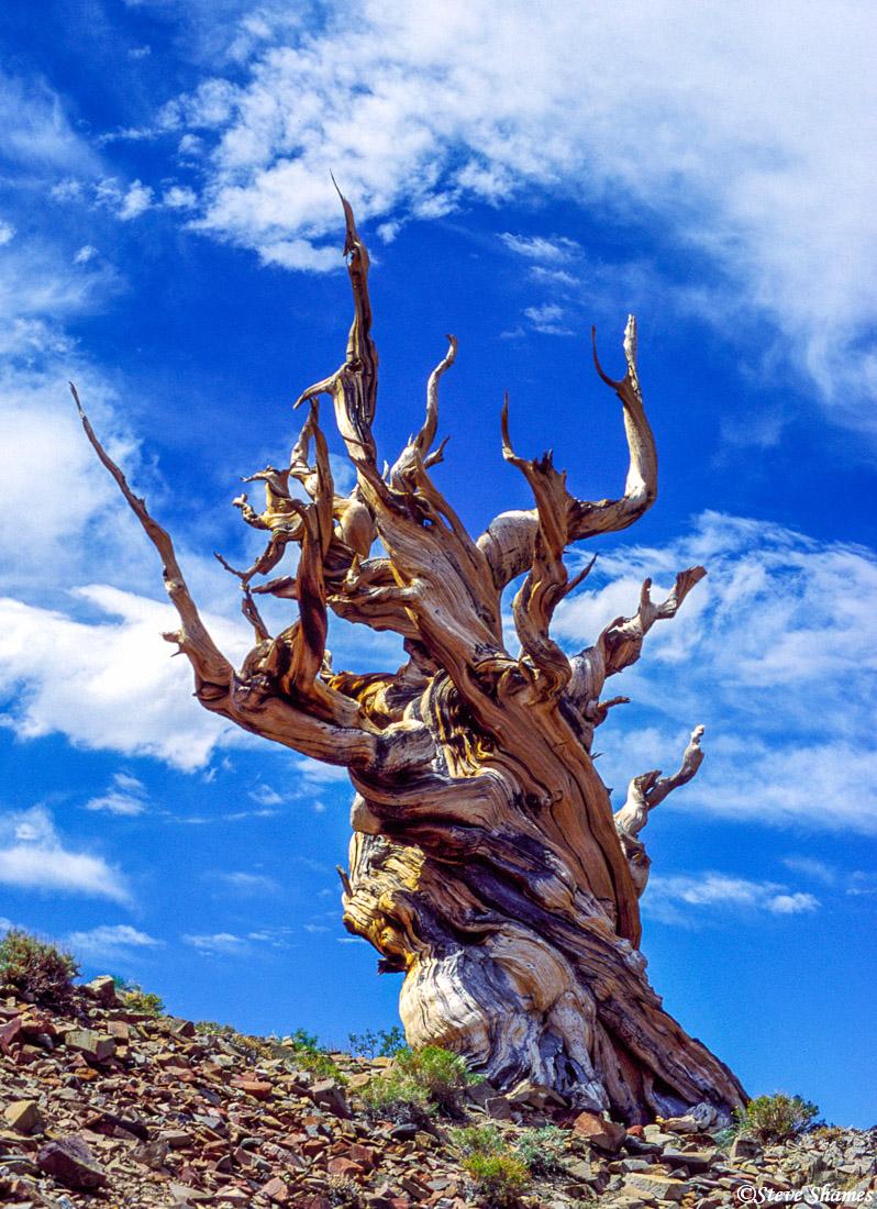 ancient, bristlecone pine forest, california, desert environment, photo