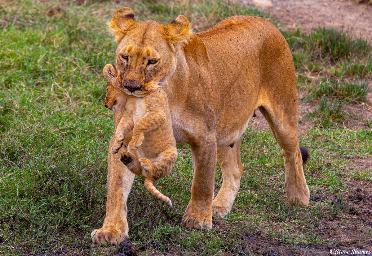 serengeti, national park, tanzania, lion mother, photo