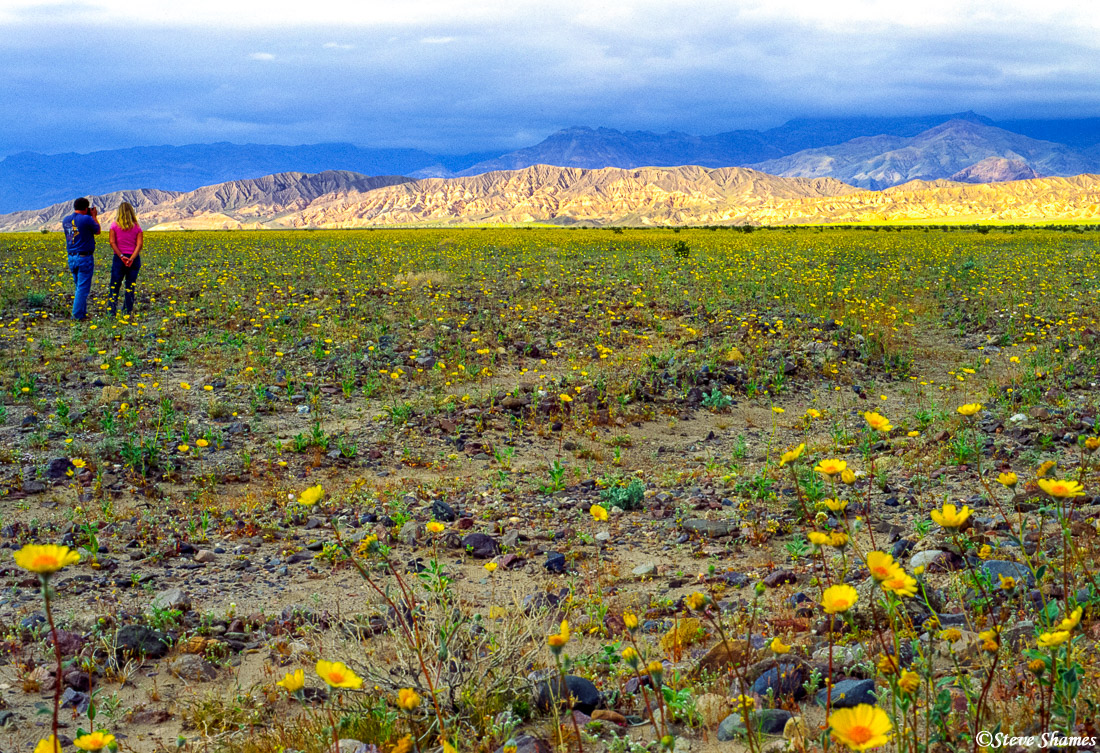 death valley national park, flower bloom, wildflowers, photo
