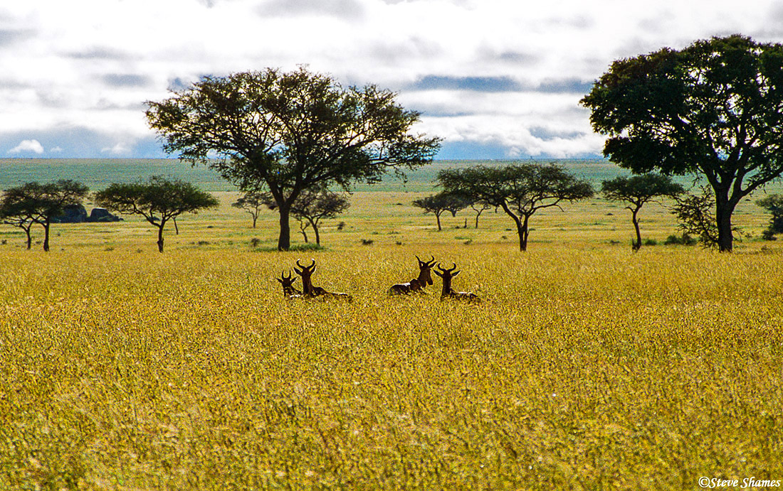 serengeti, national park, tanzania, sea of grass, hartebeest, photo