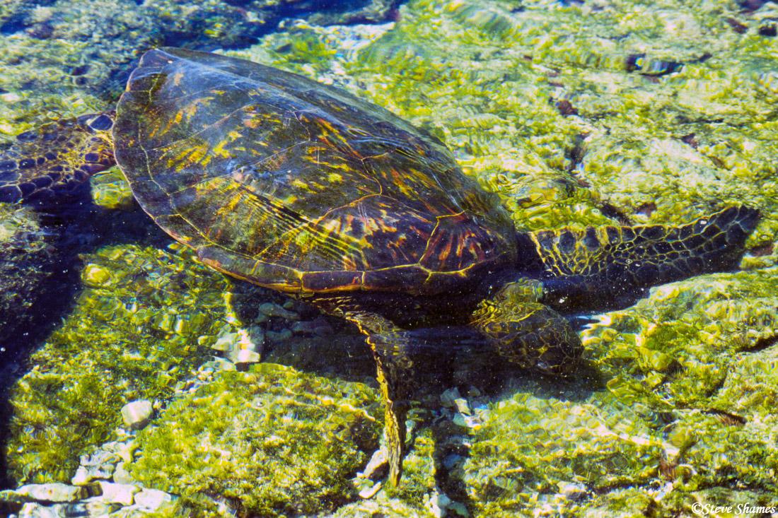 hawaii, big island, kailua kona, sea turtle, photo