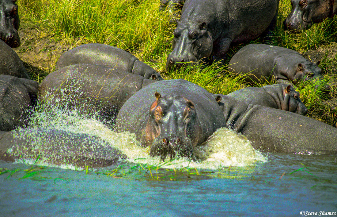 ngorongoro crater, tanzania, hippo splashing, photo