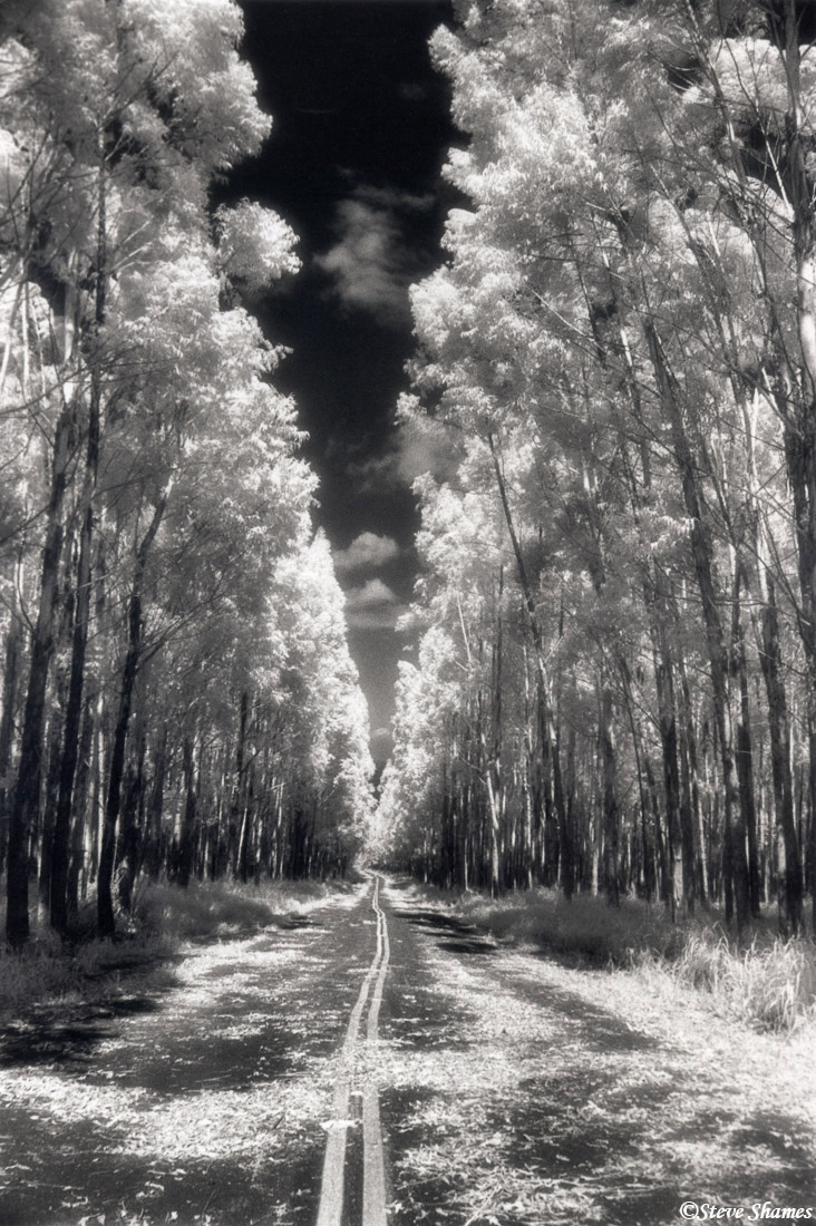 big island, hawaii, honokaa, infrared film, eucalyptus trees, photo