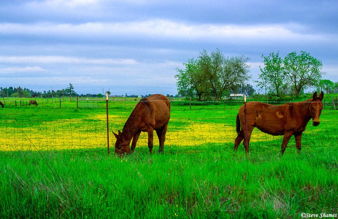 rio linda horses, sacramento valley, california, photo