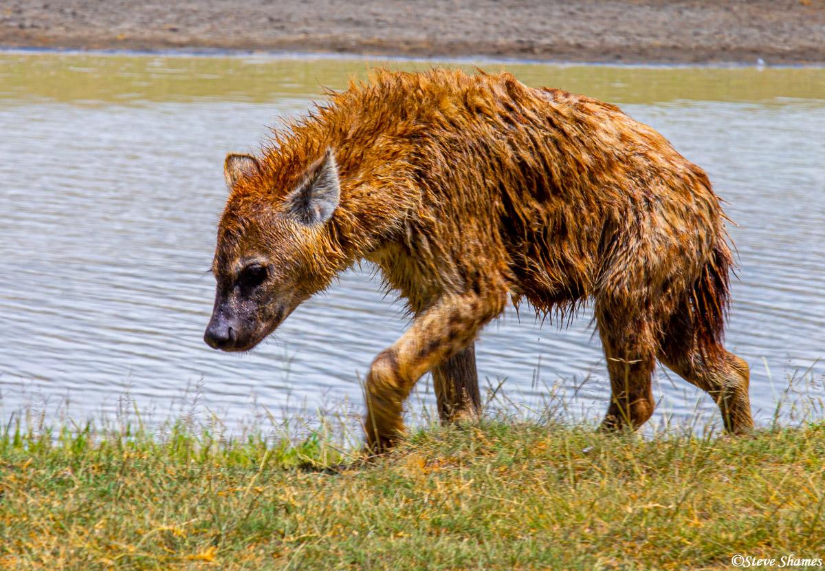ngorongoro crater hyena, tanzania, photo