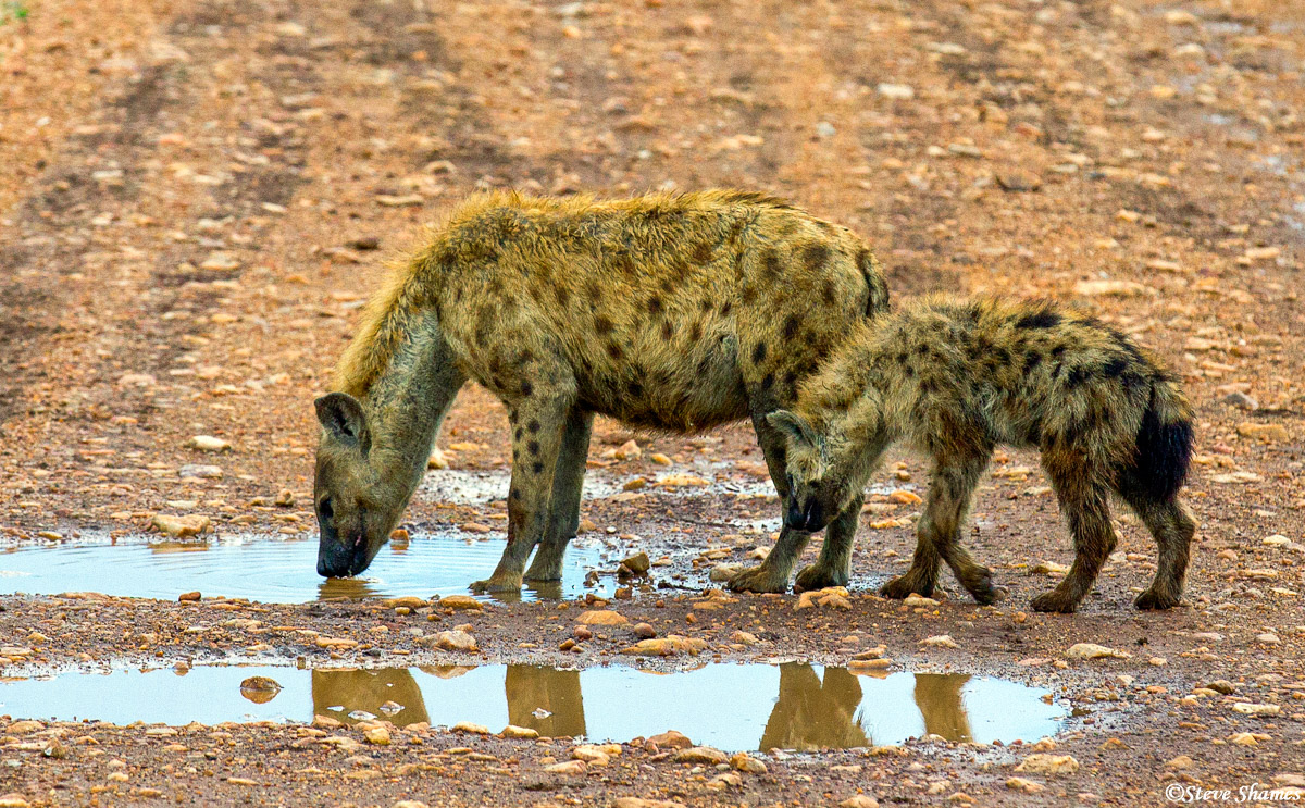 hyena cub, masai mara, national reserve, kenya, photo