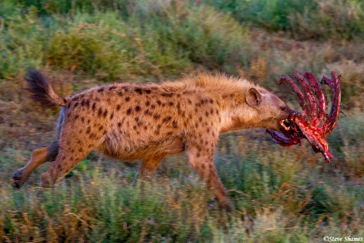 hyena, rack of ribs, zebra kill, serengeti, national park, tanzania, photo
