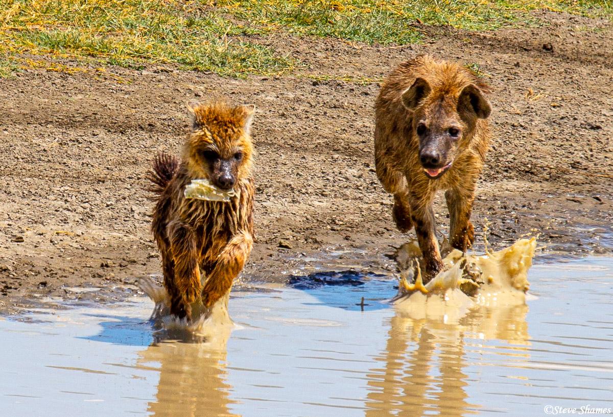 hyenas chasing, ngorongoro crater, tanzania, photo