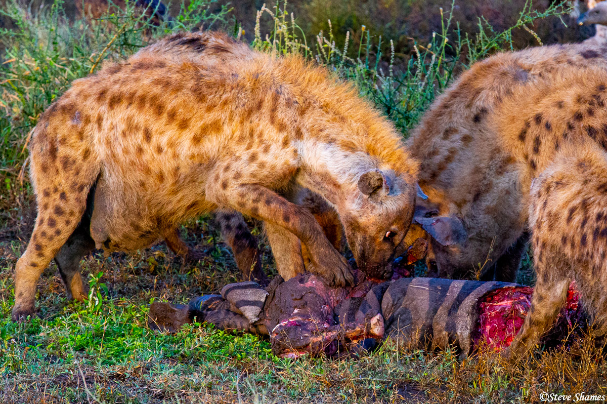 hyenas eating, serengeti, national park, tanzania, photo
