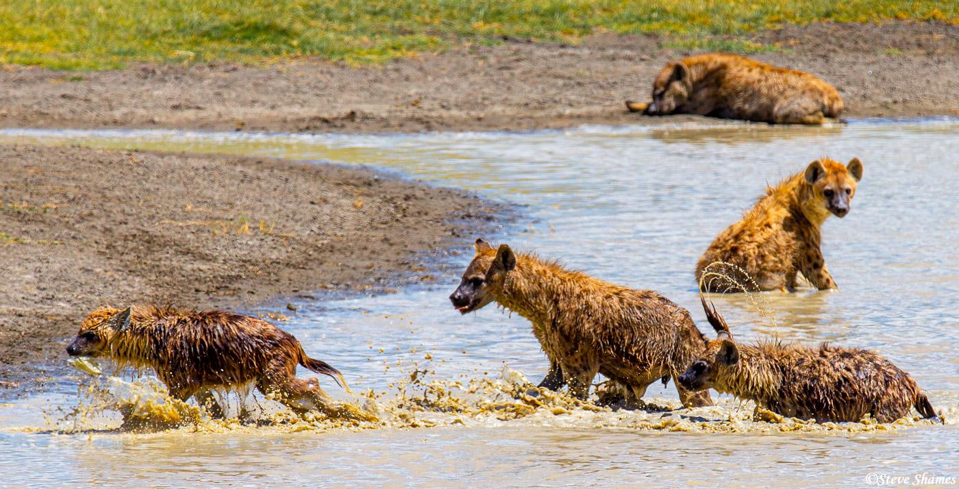 ngorongoro crater, tanzania, hyenas playing, photo