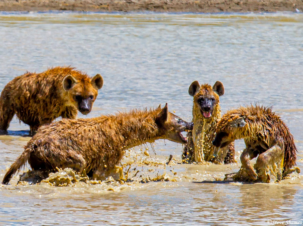 ngorongoro crater, tanzania, hyenas playing, photo
