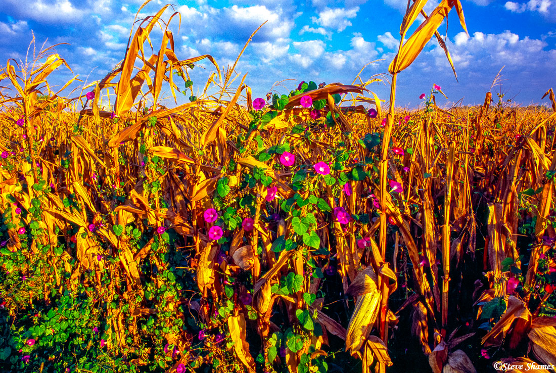 indiana farmlands, cornfield, flowers, photo