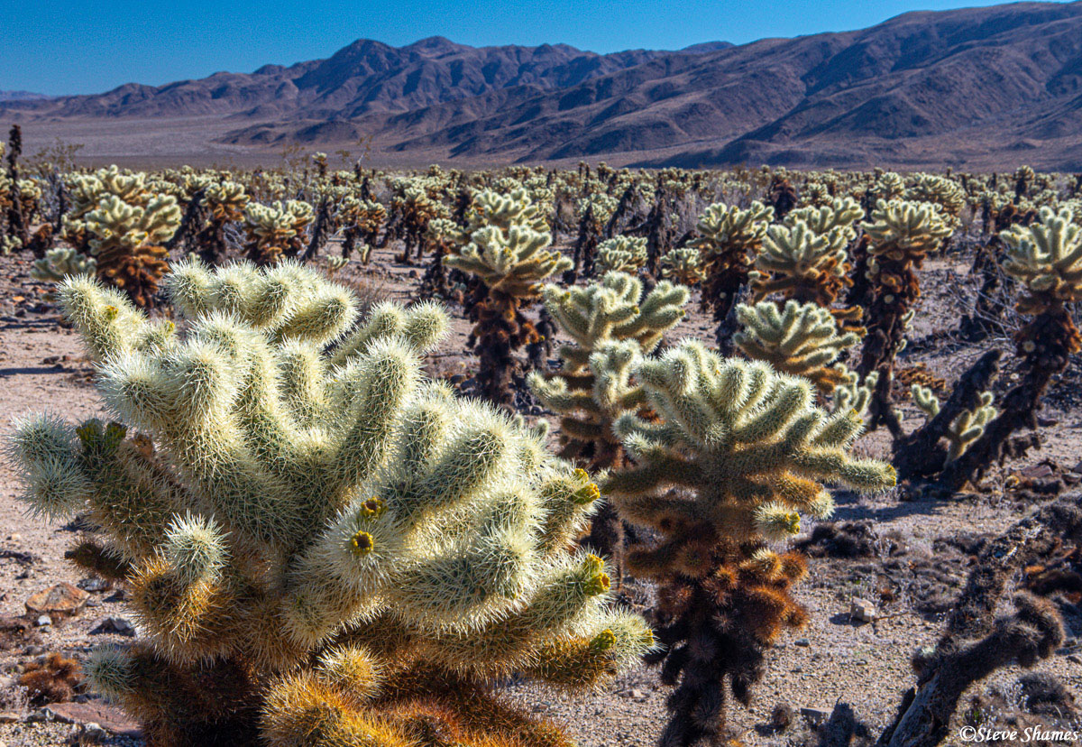 cholla cactus, joshua tree national park, southern california, photo