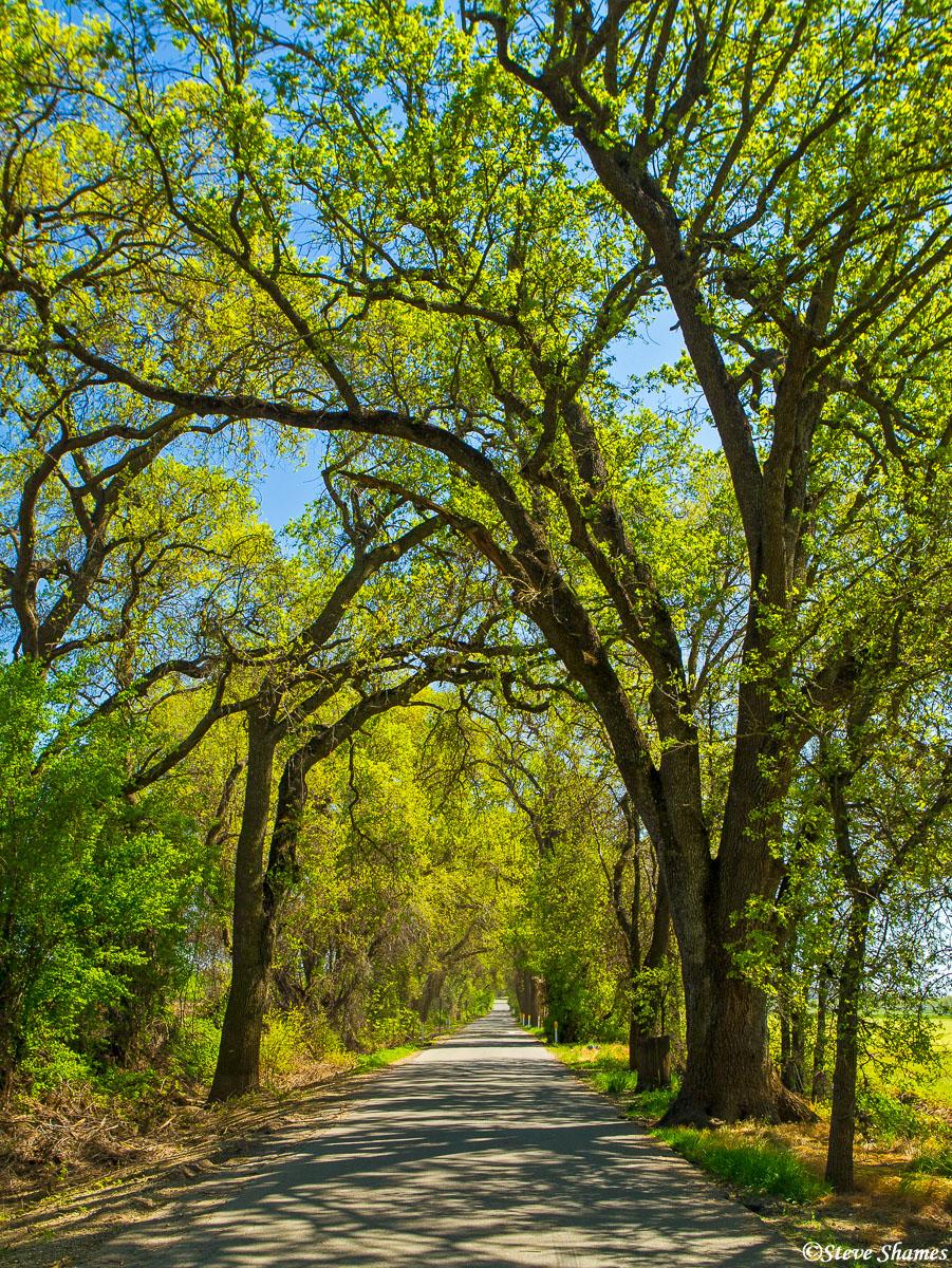 kiefer road, sacramento county, california, archway of trees, photo