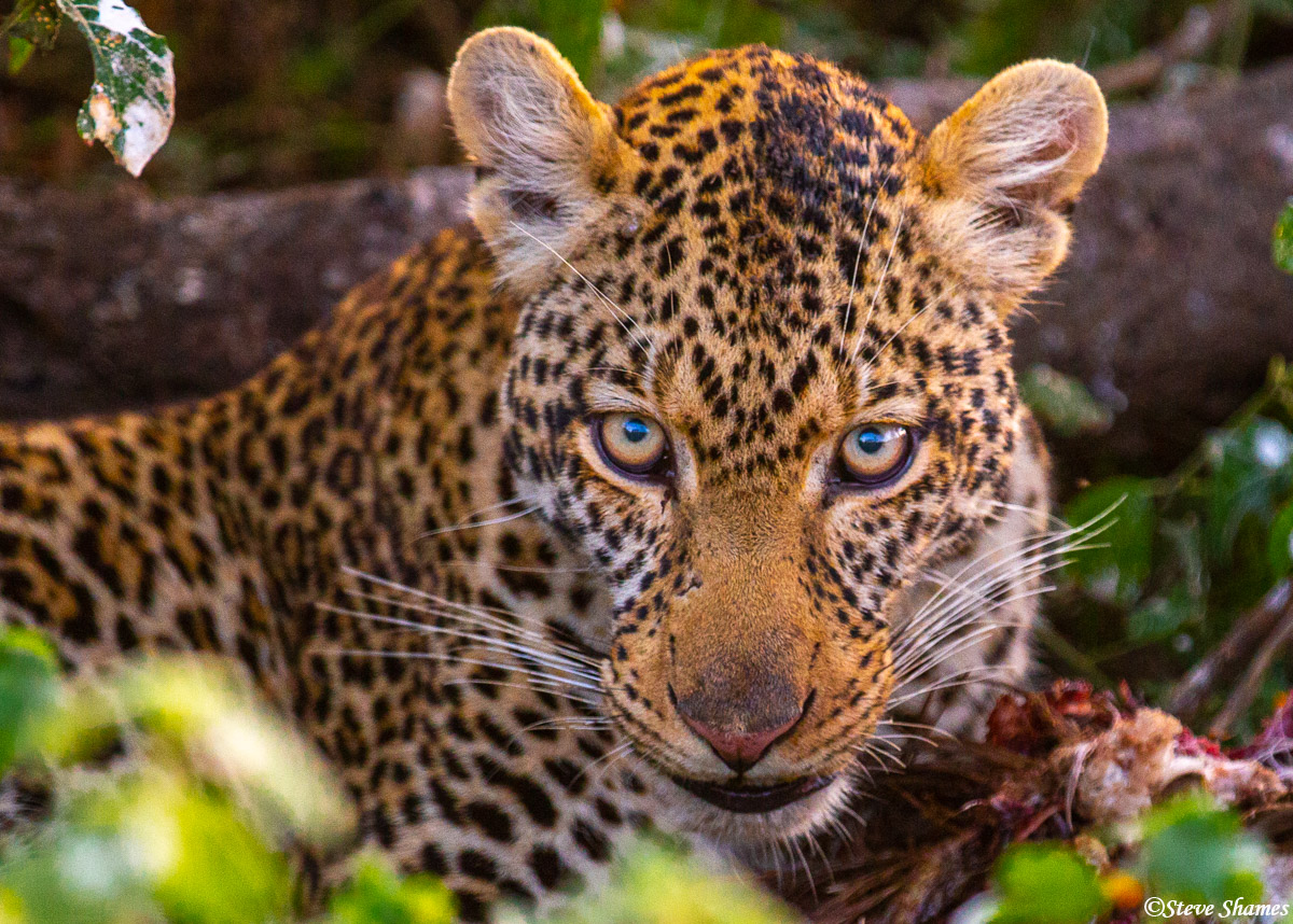 This leopard in the bush was eating a large bird. We think it might have been a vulture.