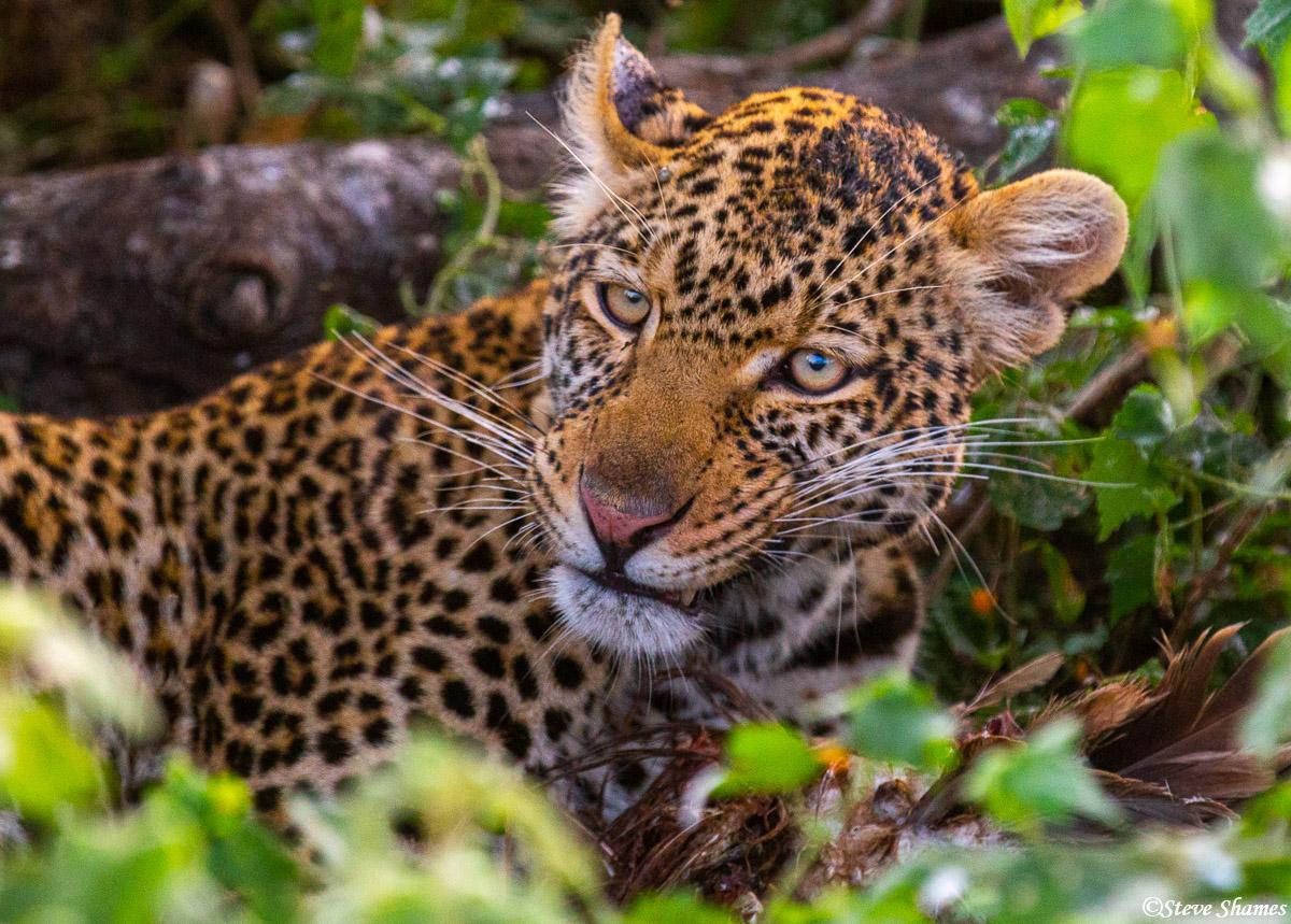 serengeti leopard, tanzania, photo