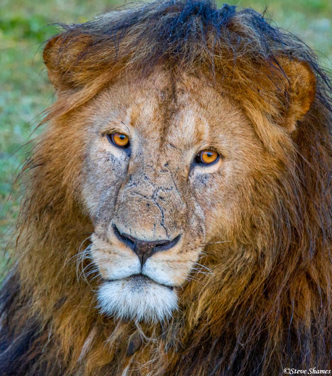 ngorongoro crater, tanzania, male lions, africa, photo