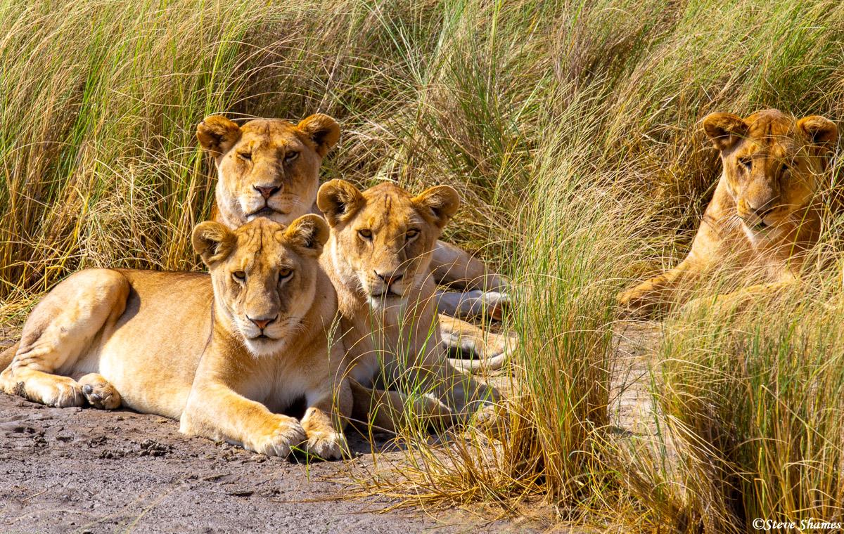 serengeti, national park, tanzania, lion family, photo