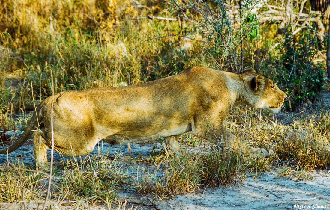 lioness stalking, kudu, moremi, okavango delta, botswana, photo