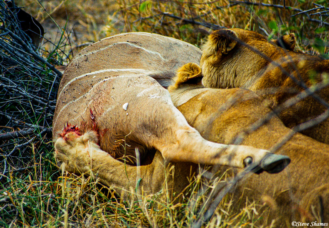 lions eating, growling, moremi game reserve, okavango delta, botswana, photo