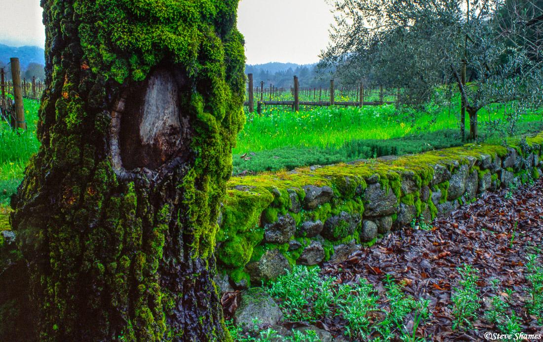 napa valley, northern california, mossy tree, photo