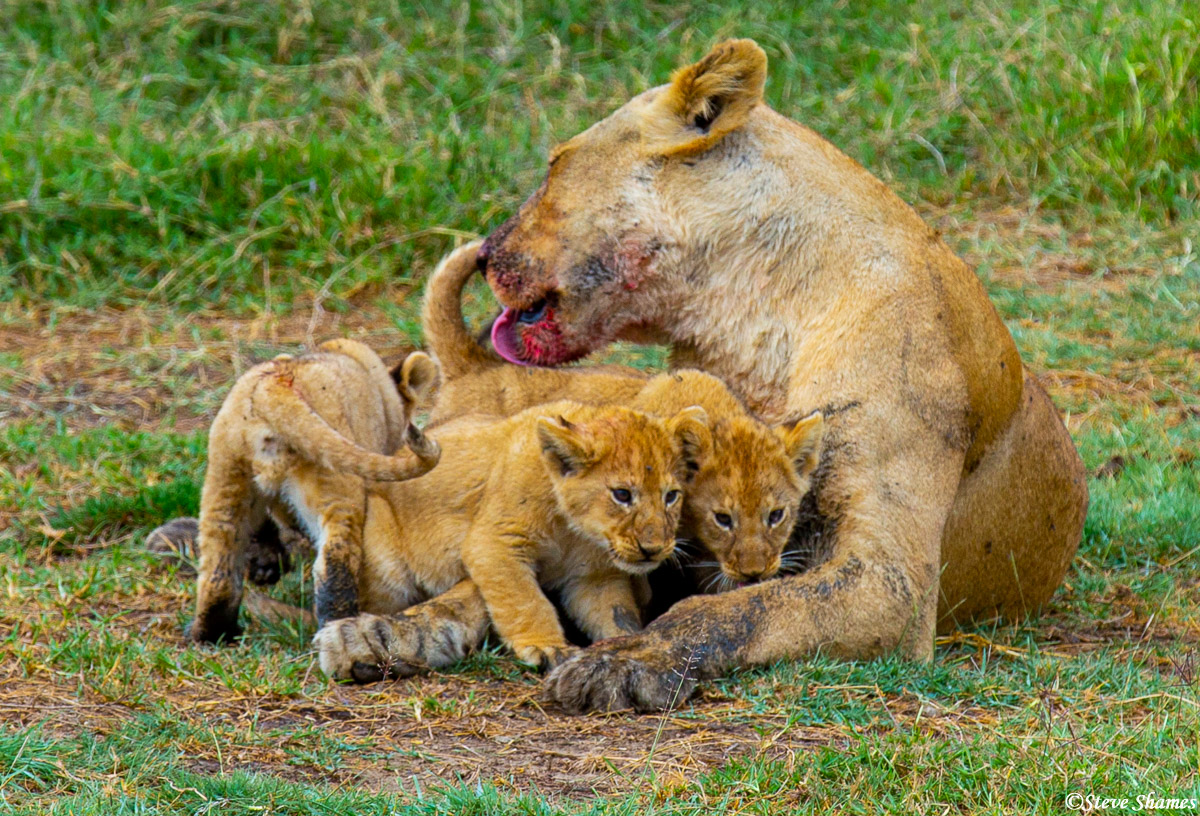 serengeti, national park, tanzania, mother lion, licking cubs, photo