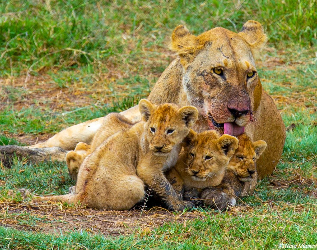lioness, safari, Serengeti national park, tanzania, licking cubs, photo