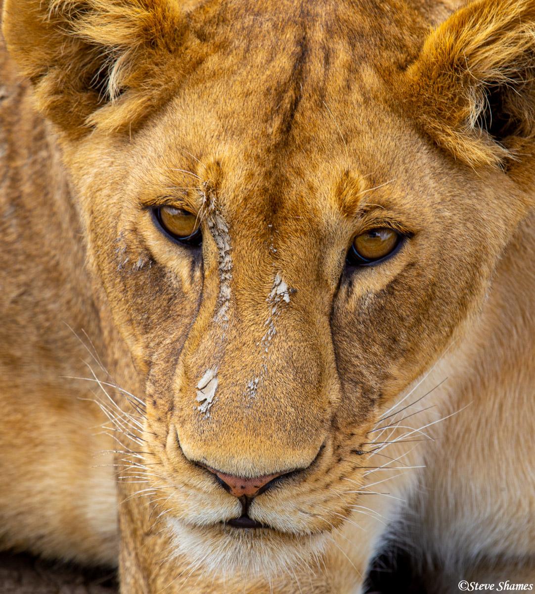 serengeti, national park, tanzania, muddy lioness, photo