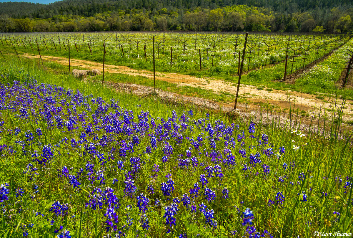 napa valley, northern california, wild lupines, photo
