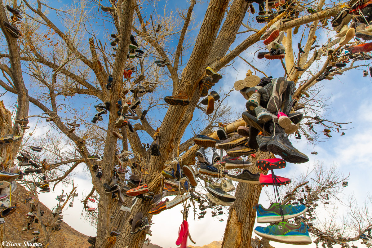 """This is actually the """"new"""" shoe tree. The original was chopped down by vandals in 2010. But this sister tree is coming along..."""