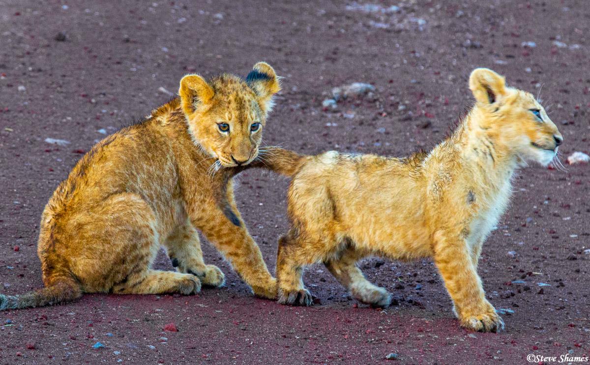 ngorongoro crater, tanzania, lion cubs playing, photo