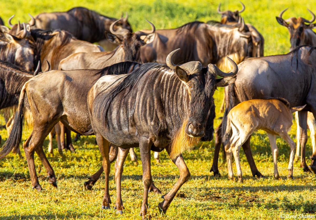 wildebeest, ngorongoro crater, tanzania, photo