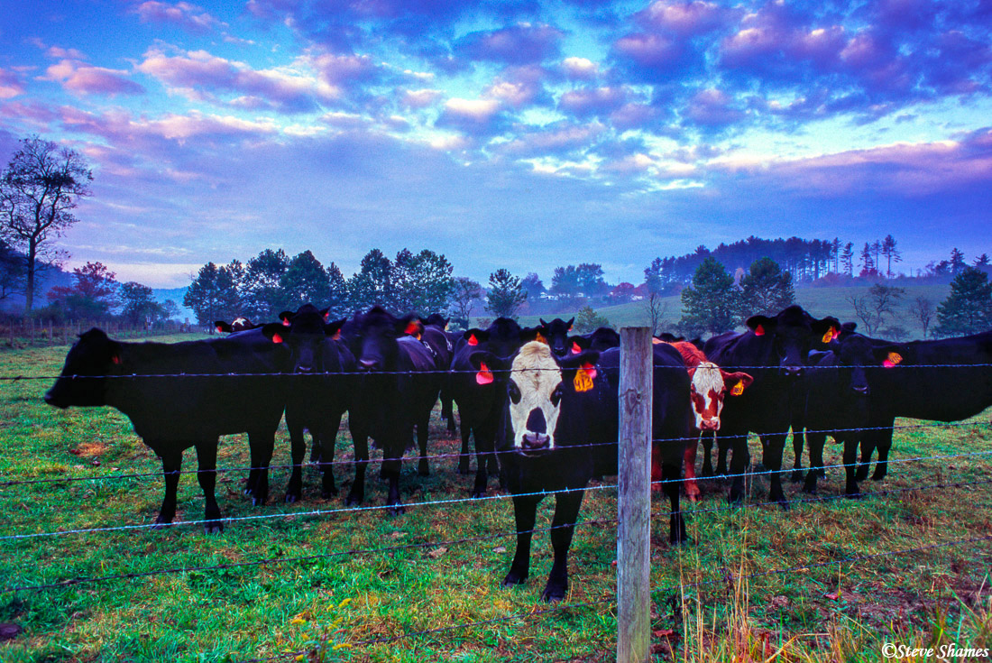 north carolina cows, laurel springs, photo