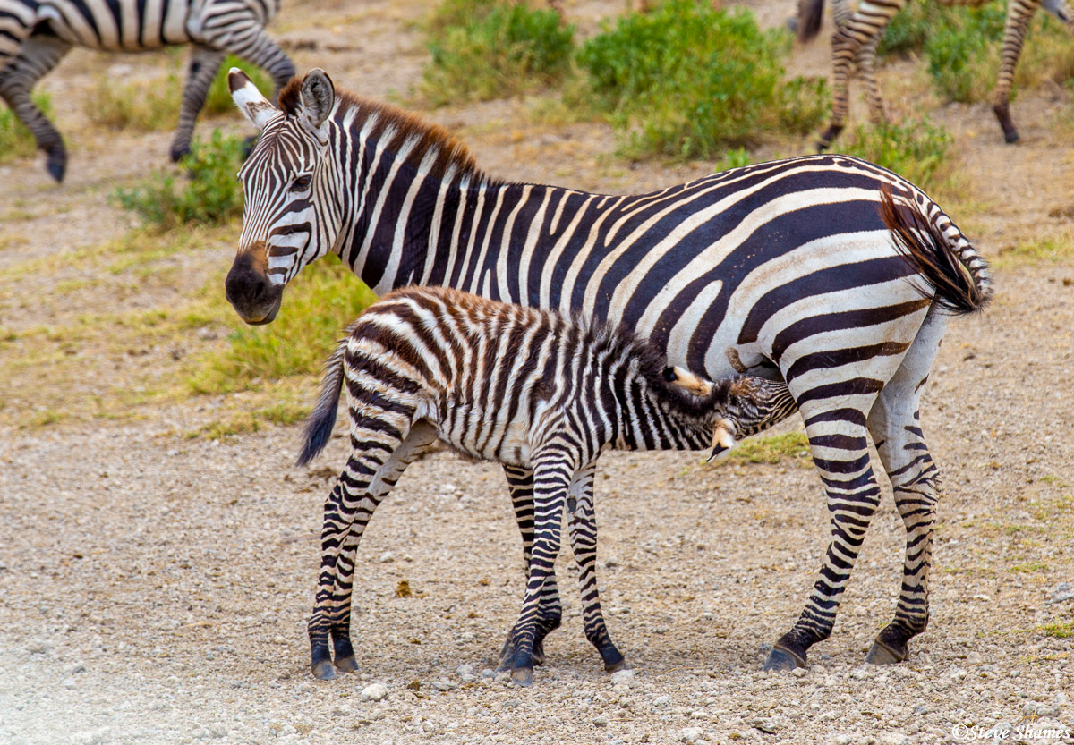 serengeti, national park, tanzania, nursing zebra colt, shaggy haired, photo