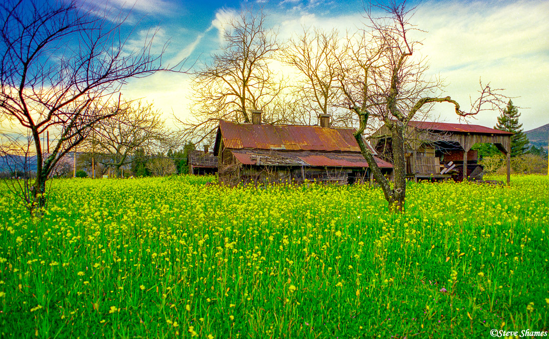 napa valley, mustard field, northern california, old buildings, photo