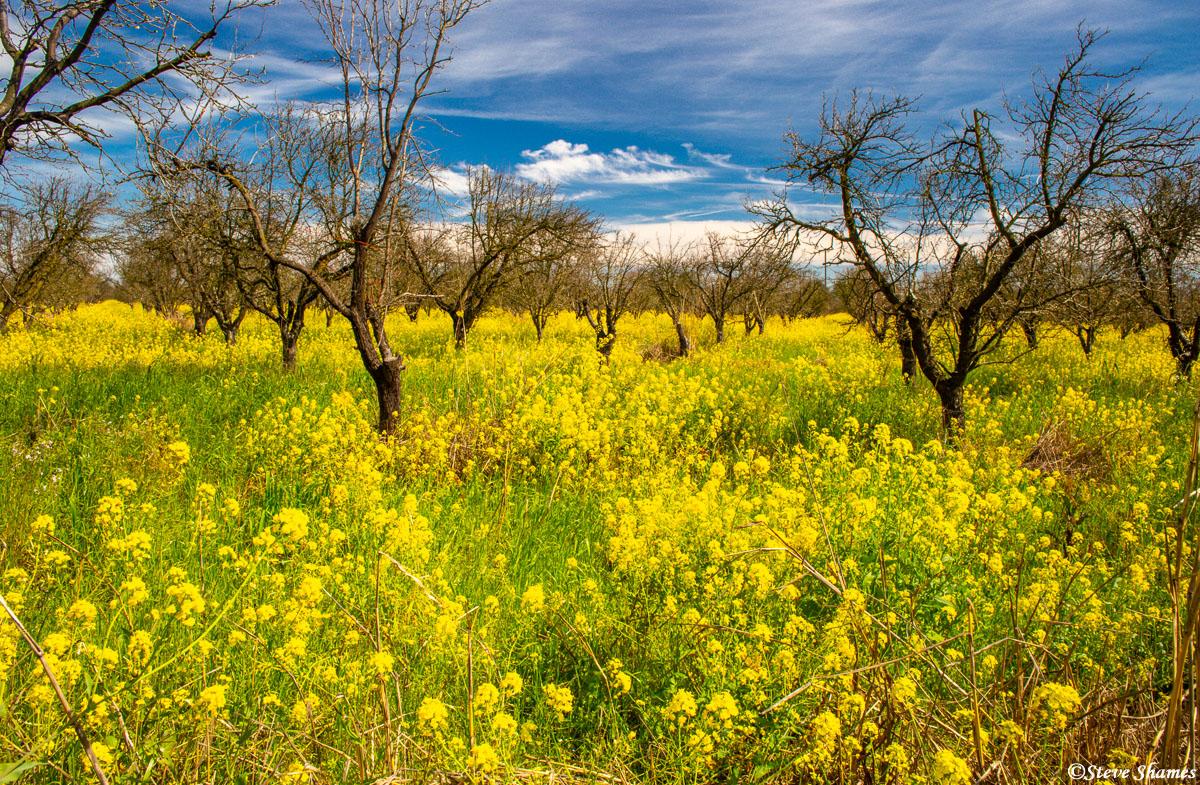 sacramento valley, wild mustard, old orchard,, photo