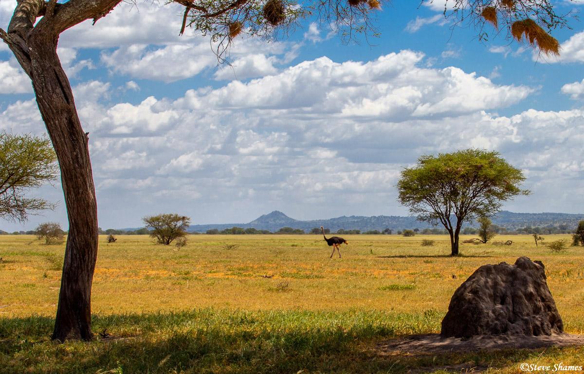 tarangire national park, tanzania, ostrich, photo